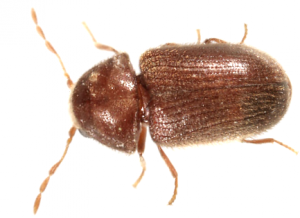 Cigarette and Drugstore Beetle  Identify and Control