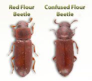 red flour and confused flour beetles